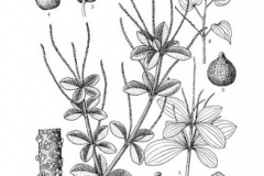 Sketch-of-Shiny-bush