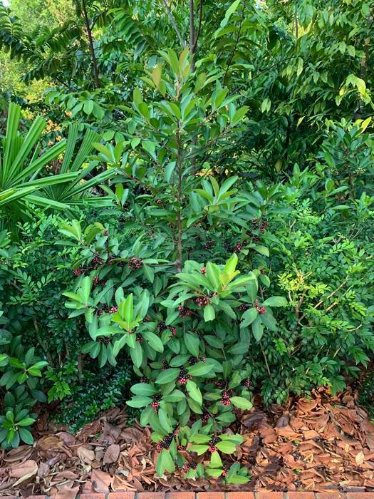 Shoebutton-Ardisia-plant-growing-wild