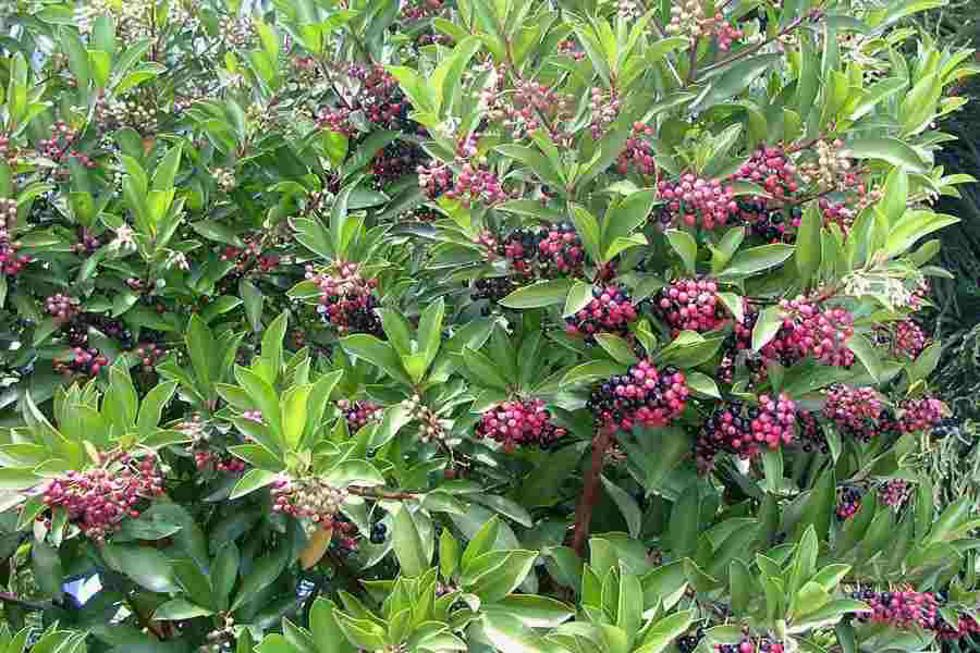 Shoebutton-Ardisia-plant