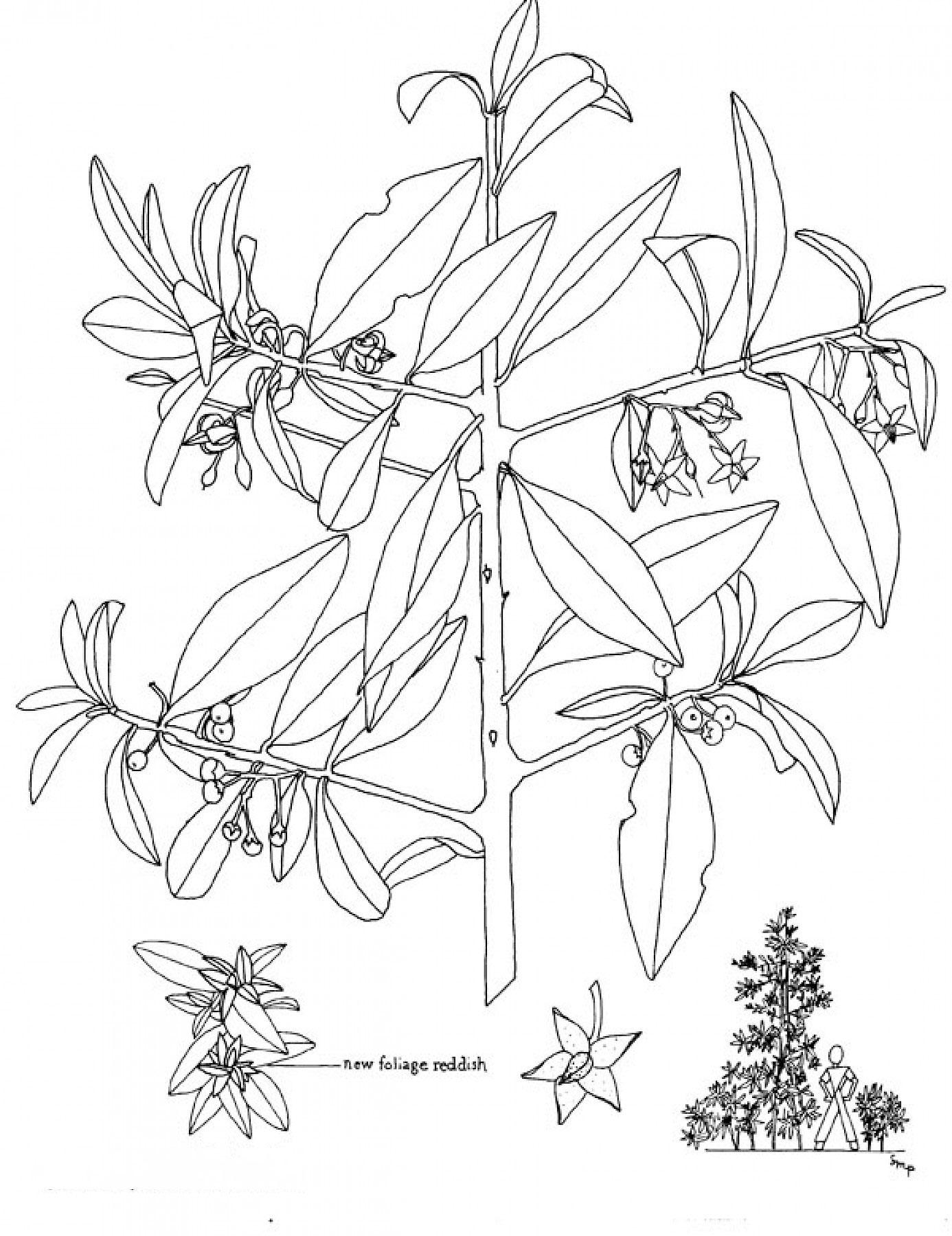 Sketch-of-Shoebutton-Ardisia