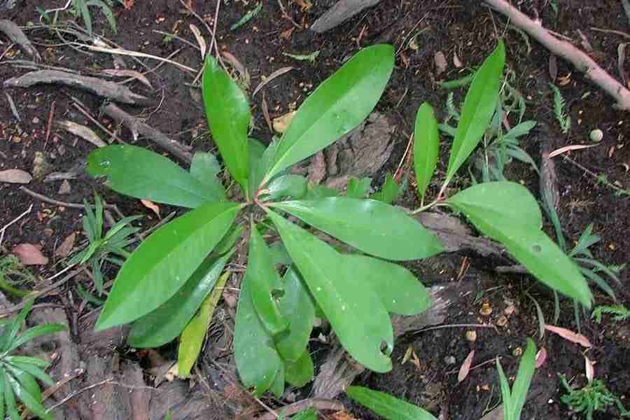 Small-Shoebutton-Ardisia-plant