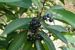 Mature-Fruits-of-Shoebutton-Ardisia