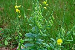 Showy-rattlebox-Plant