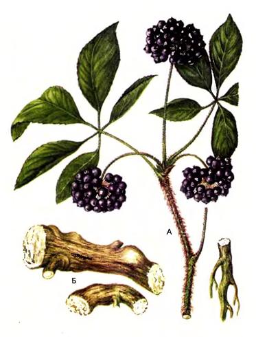 Siberian-Ginseng-plant-Illustration