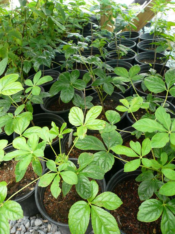 Small-Siberian-Ginseng-plants