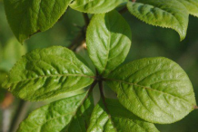 Leaf-of-Siberian-Ginseng