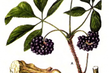 Siberian-Ginseng-plant-Illustration