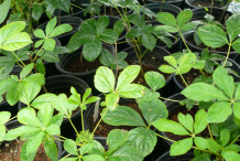 Small-Siberian-Ginseng-plants