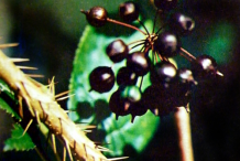 Spines-of-Siberian-Ginseng-plant