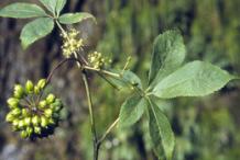 Unripe-Siberian-Ginseng-fruit