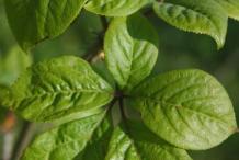 Leaf-of-Siberian-Ginseng