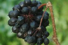 Ripe-Fruit-of-Siberian-Ginseng