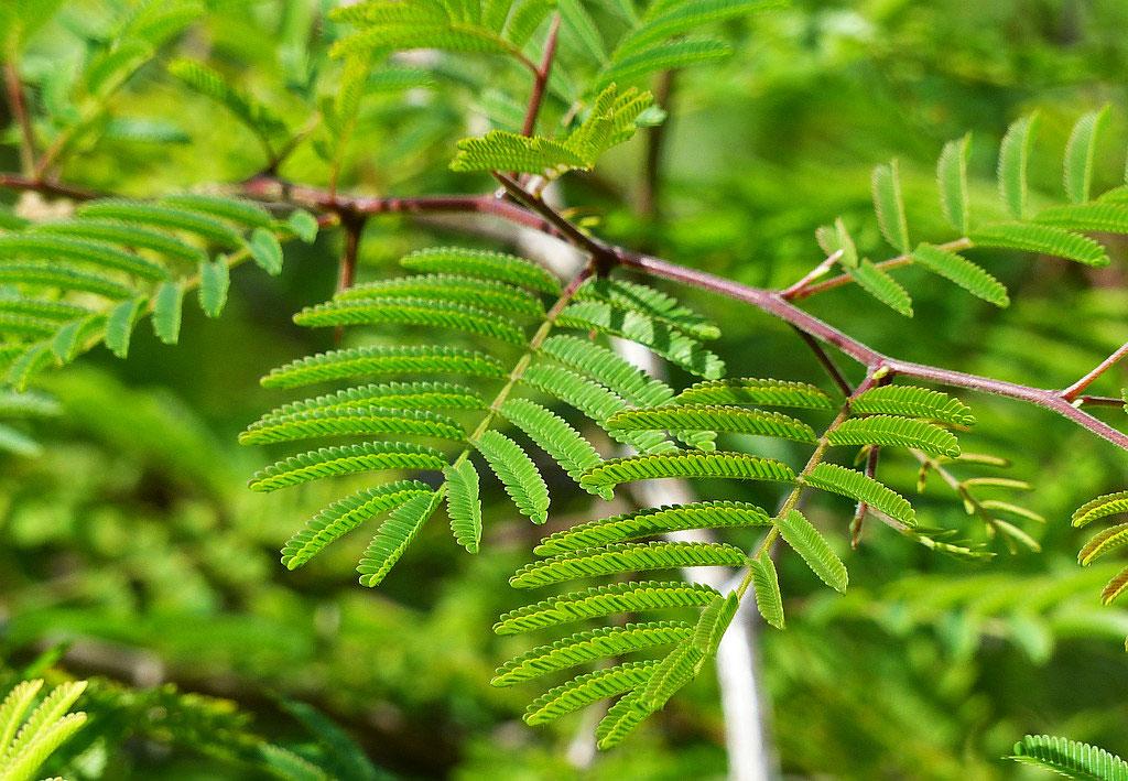 Leaves-of-Sicklebush