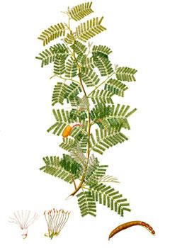 Plant-Illustration-of-Sicklebush