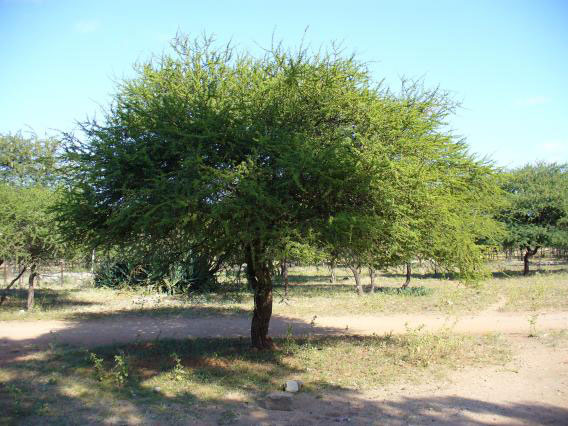 Sicklebush-tree