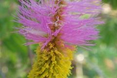 Flower-of-Sicklebush