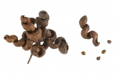 Mature-fruits-and-seeds-of-Sicklebush