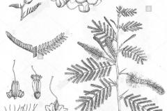 Sketch-of-Sicklebush