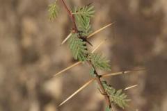 Spines-of-Sicklebush