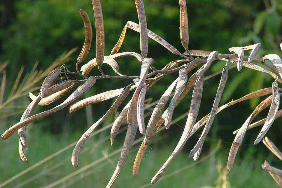 Mature-fruits-of-Sicklepod