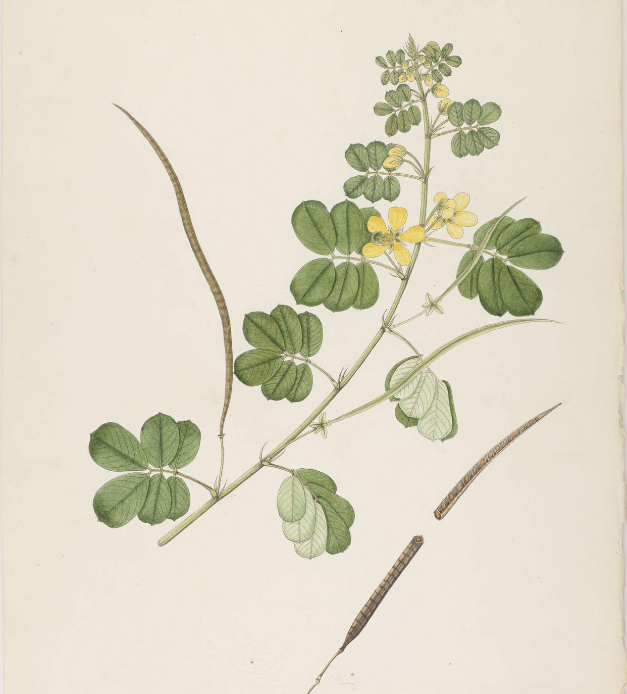 Plant-Illustration-of-Sicklepod