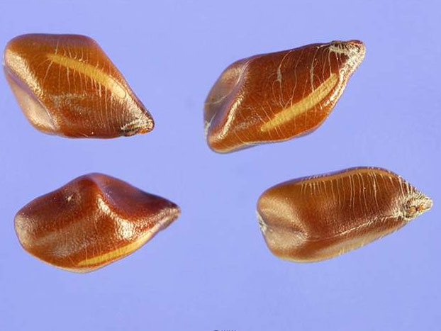 Seeds-of-Sicklepod