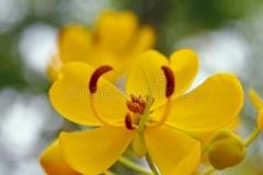 Flower-of-Sicklepod