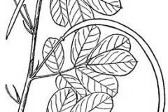 Sketch-of-Sicklepod