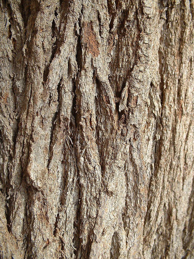 Bark-of-Silk-oak