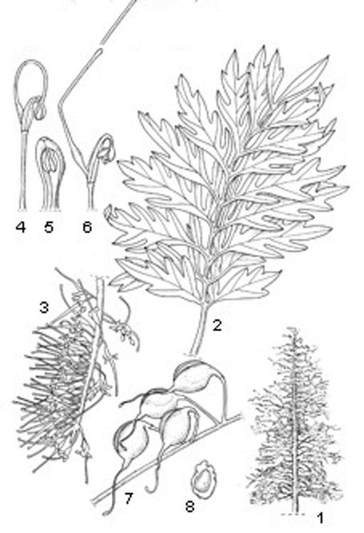 Plant-illustration-of-Silk-oak