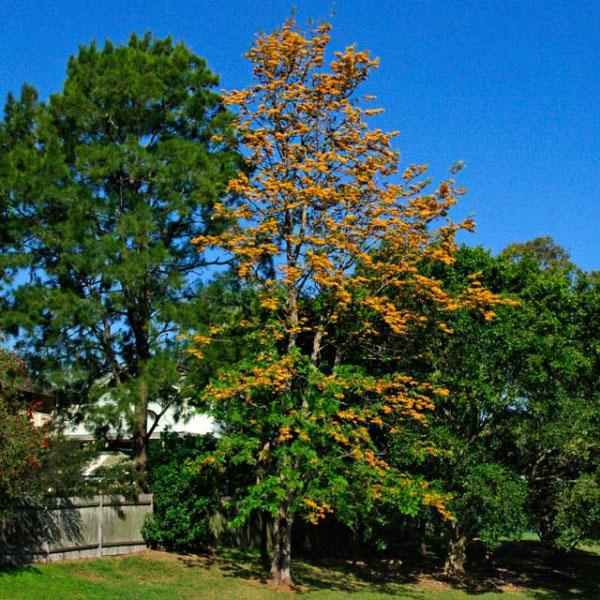 Silk-oak-tree