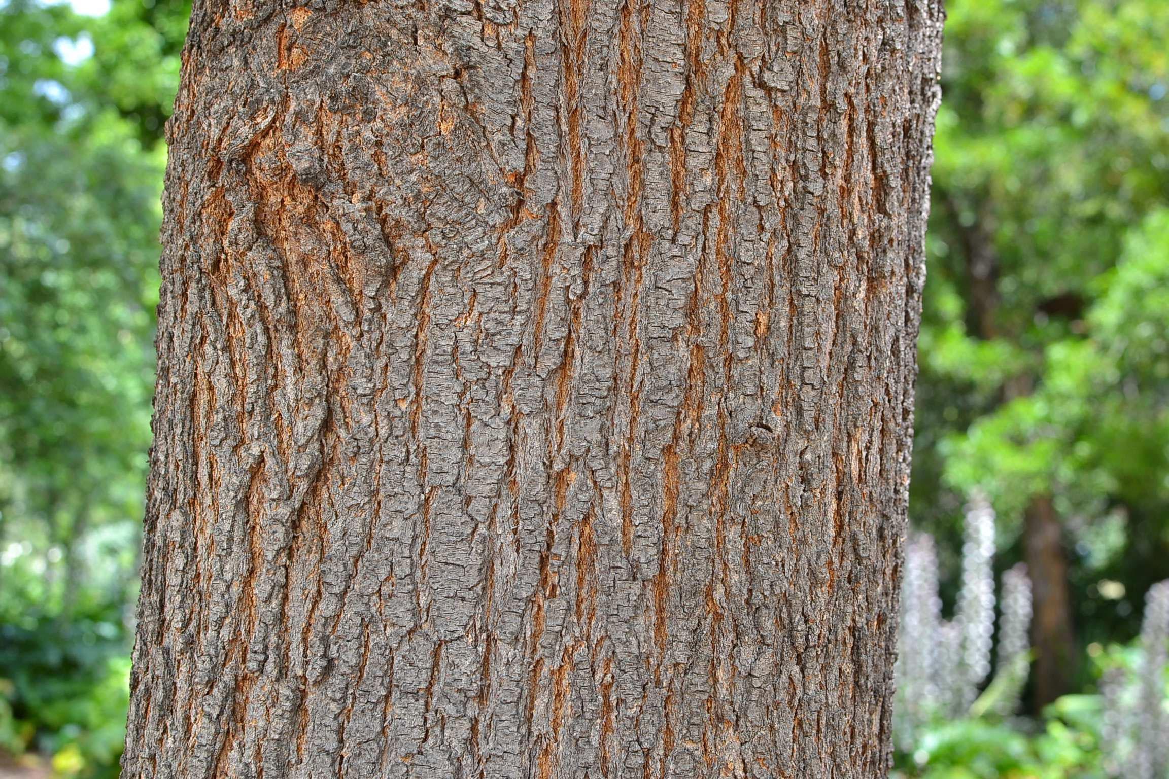 Trunk-of-Silk-oak