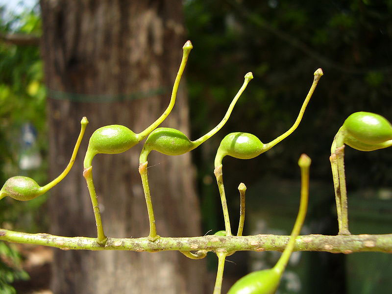 Unripe-fruits-of-Silk-oak