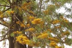 Flowering-branches-of-Silk-oak