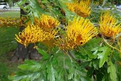 Flowers-of-Silk-oak