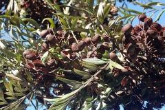 Mature-Silk-oak-fruits-on-the-tree