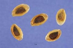 Seeds-of-Silk-oak