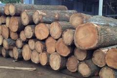 Timber-wood-of-Silk-oak