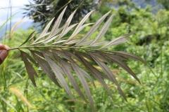 Ventral-view-of-leaf-of-Silk-oak