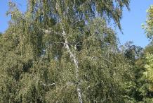 Silver-Birch--Plant