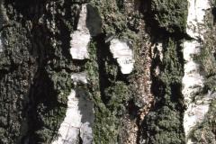 Bark-of-Silver-Birch