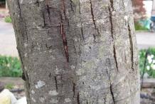 Bark-of-Silver-Wattle