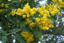 Flowers-of--Silver-Wattle