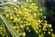 Flowering-buds-of-Silver-Wattle
