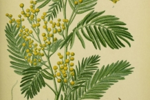 Plant-Illustration-of-Silver-Wattle