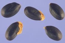 Seeds-of-Silver-Wattle