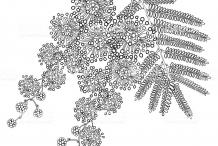 Sketch-of-Silver-Wattle