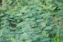 Young-Silver-Wattle-plant