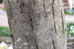 Bark-of-Silver-Wattle