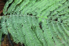 Closer-view-of-leaves-of-Silver-Wattle